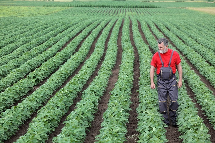 A man walks through his field of growing soybeans.