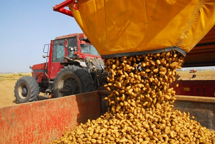 Freshly harvested potatoes being dumped into a transport bin.
