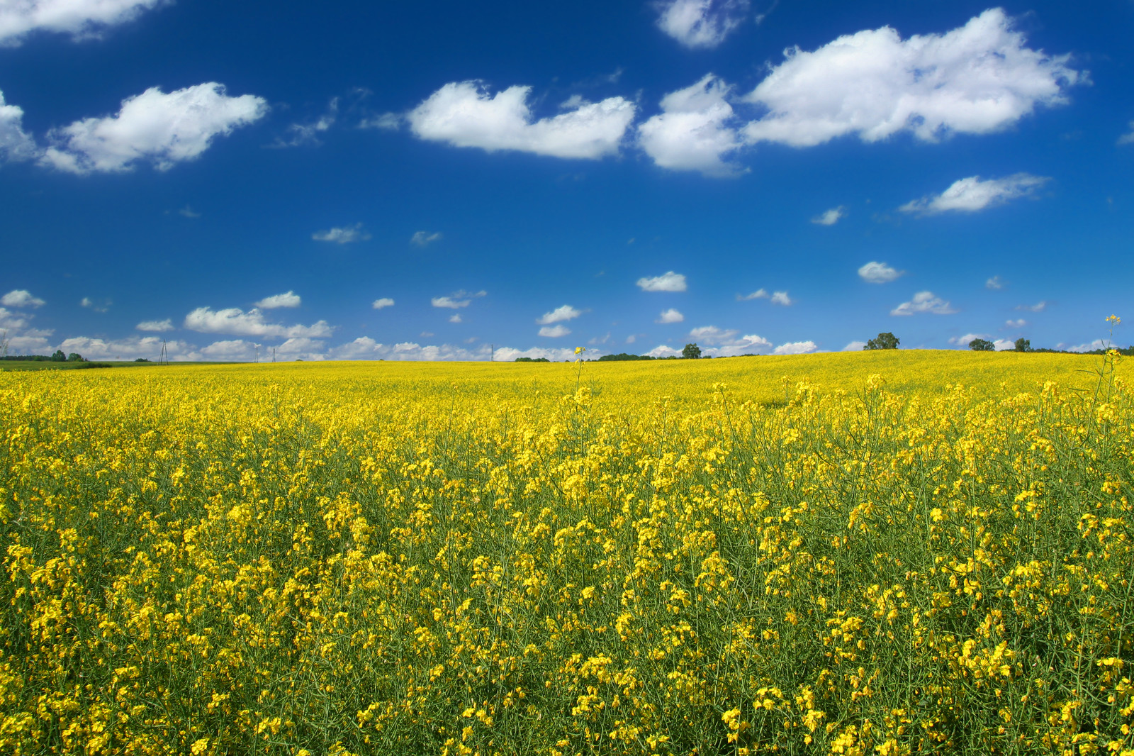 Canola and Sky